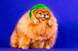 canvas print picture - A very nice red Pomeranian doggy with a red winter hat on in the blue background in a studio.