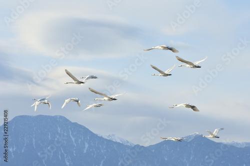 安曇野の空を飛ぶ白鳥