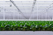 Agriculture In Netherlands, Huge Greenhouse With Rows Of Growing Chinese Cabbage Bok Choy, Pak Choi Or Pok Choi