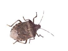 Brown Marmorated Stink Bug Hal...
