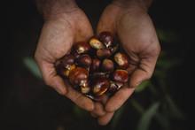 Crop Hands With Chestnuts