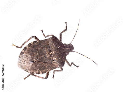 Photo Brown marmorated stink bug Halyomorpha halys, an invasive species from Asia
