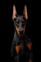 Portrait Of Doberman Dog Stron...