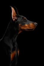 Portrait Of Doberman Purebred Dog, Looking At Side., Isolated Black Background, Profile View