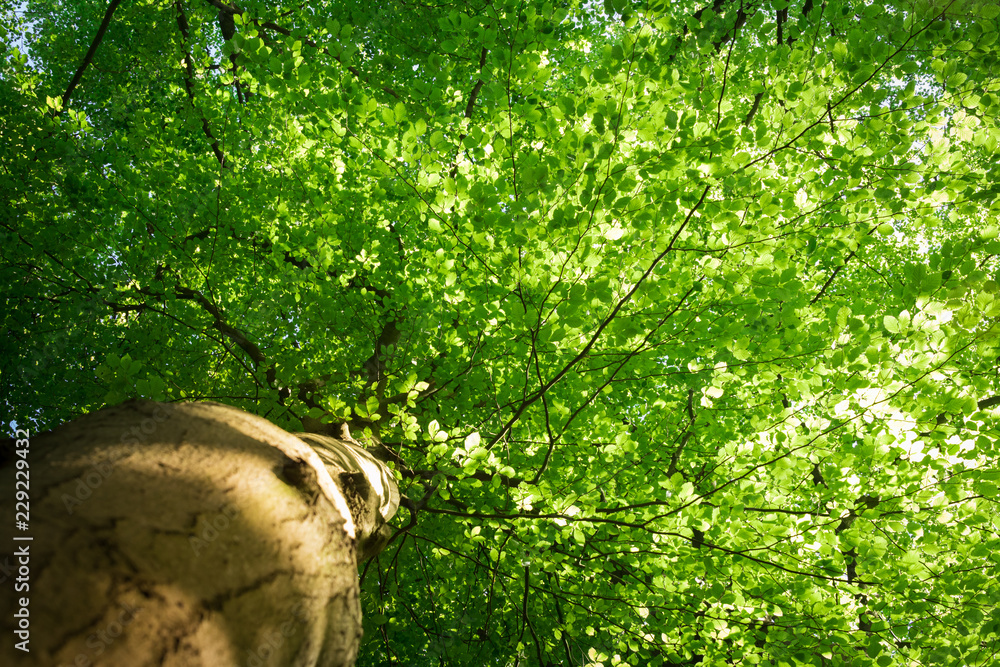 Bottom view of the foliage of a beech tree in the spring with the light filtered through the fresh green young leaves, viewing point is along the trunk.