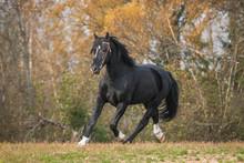 Latvian Breed Horse Running In Autumn