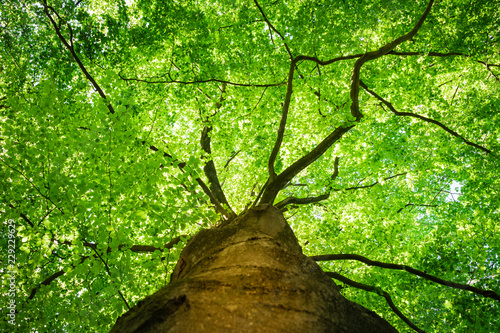 Bottom view, along the trunk, of the fresh green foliage of a beech tree in the spring, with the branches clearly visible as veins for the life juices.