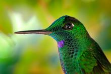 Detail Portrait Of Shiny Green Glossy Bird. Green Hummingbird Green-crowned Brilliant, Heliodoxa Jacula In Costa Rica. Small Bird With Long Beak.  Wildlife Scene From Nature.