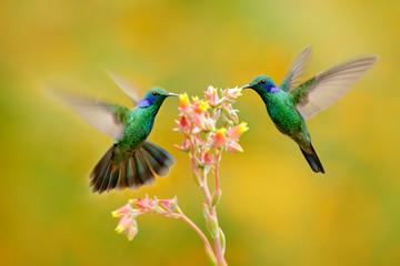 Two birds with orange flower. Hummingbirds Green Violet-ear, Colibri thalassinus, flying next to beautiful yellow flower, Savegre, Costa Rica. Action wildlife scene from nature. Animal behaviour.