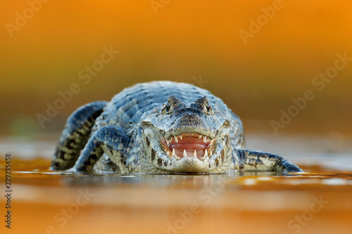 In de dag Krokodil Yacare Caiman, crocodile with open muzzle with big teeth, Pantanal, Brazil. Detail portrait of danger reptile.