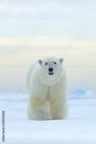Deurstickers Ijsbeer Polar bear on drift ice edge with snow and water in Norway sea. White animal in the nature habitat, Europe. Wildlife scene from nature. Dangerous bear walking on the ice, beautiful evening sky.