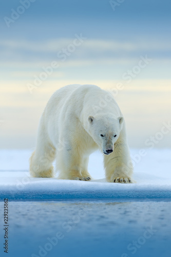 Spoed Foto op Canvas Ijsbeer Polar bear on drift ice edge with snow and water in Norway sea. White animal in the nature habitat, Europe. Wildlife scene from nature. Dangerous bear walking on the ice, beautiful evening sky.