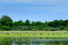 Pack Of Wild Dogs Hunting In Botswana. Wildlife Scene From Africa, Moremi, Okavango Delta. Animal Behaviour, Group Pride Of African Wild Dogs Near The Yellow Flowered Lake. Hunting Dos Running.
