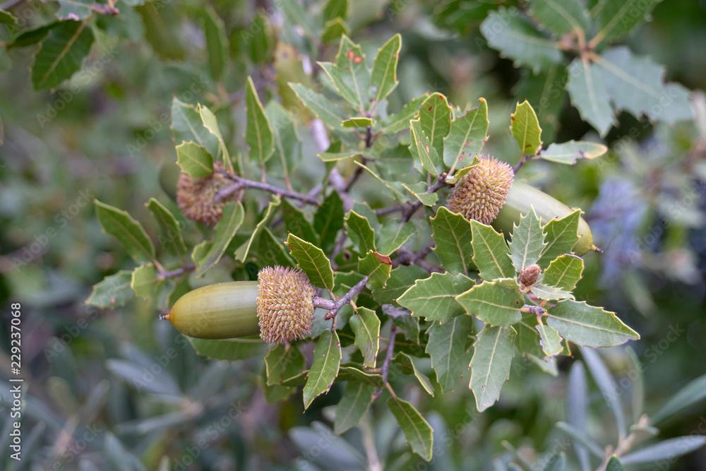 Stein Eiche Quercus Ilex Blätter Und Früchte Foto Poster