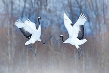 Dancing Pair Of Red-crowned Crane With Open Wings, Winter Hokkaido, Japan. Snowy Dance In Nature. Courtship Of Beautiful Large White Birds In Snow. Animal Love Mating Behaviour, Bird Dance.