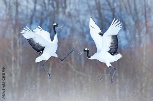 Fotografie, Obraz  Dancing pair of Red-crowned crane with open wings, winter Hokkaido, Japan