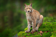 Lynx In The Forest. Sitting Eurasian Wild Cat On Green Mossy Stone, Green In Background. Wild Lynx In The Nature Habitat, Germany, Europe. Beautiful Animal, Face Portrait. Wildlife Scene From Nature.