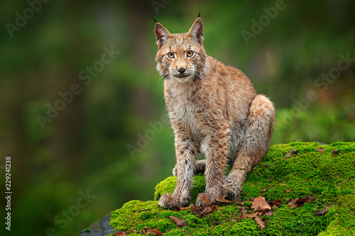 Foto op Aluminium Lynx Lynx in the forest. Sitting Eurasian wild cat on green mossy stone, green in background. Wild lynx in the nature habitat, Germany, Europe. Beautiful animal, face portrait. Wildlife scene from nature.
