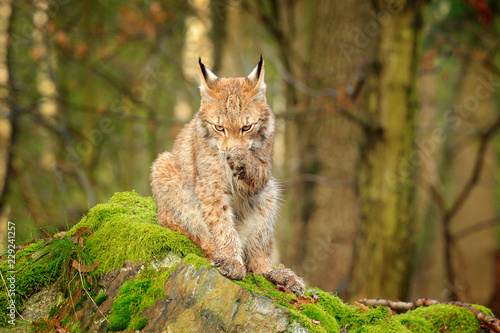 Aluminium Prints Lynx Wild cat cleaning paw. Lynx in the forest. Sitting Eurasian cat on green mossy stone, green in background. Wild cat in theIr nature habitat, Poland, Europe.