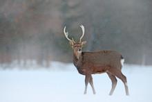 Animal With Antlers In The Nature Habitat, Winter Scene From Japan. Hokkaido Sika Deer, Cervus Nippon Yesoensis, On The Snowy Meadow.