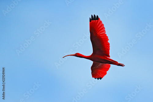 Photo Scarlet Ibis, Eudocimus ruber, exotic red bird, nature habitat, bird colony sitting on the tree, Caroni Swamp, Trinidad and Tobago, Caribbean