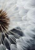Fototapeta Dmuchawce - soft dandelion