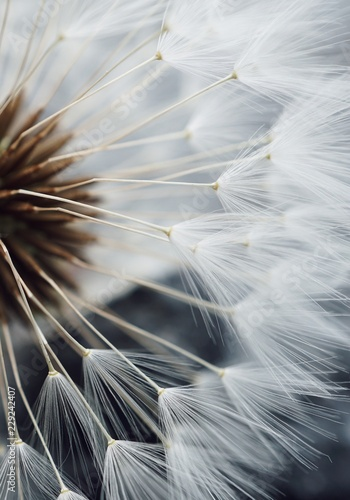 Obraz soft dandelion - fototapety do salonu