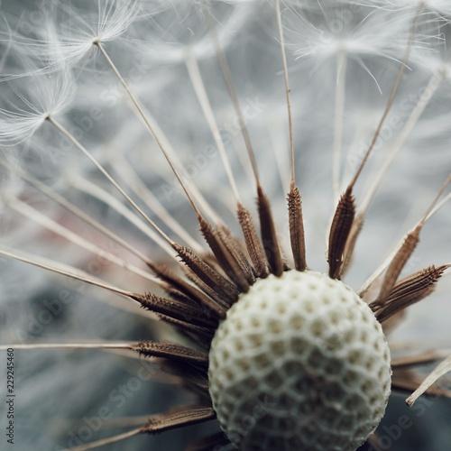 dandelion seed flying