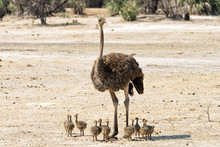 Female Ostrich With Eleven Chicks In The Mahango Game Reserve, Namibia