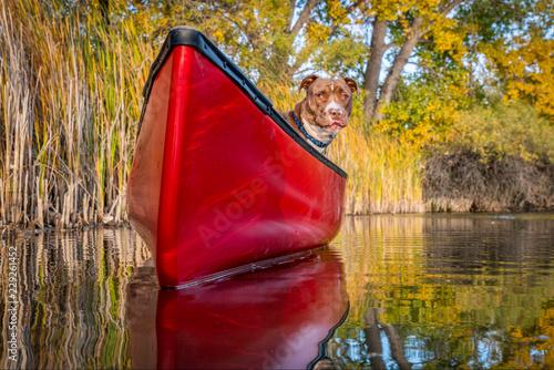 Fotografia pit bull terrier dog in a red canoe
