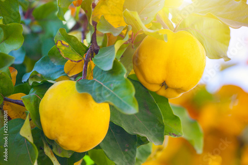 Tableau sur Toile Branch of tree with ripe fruits of quince and leaves