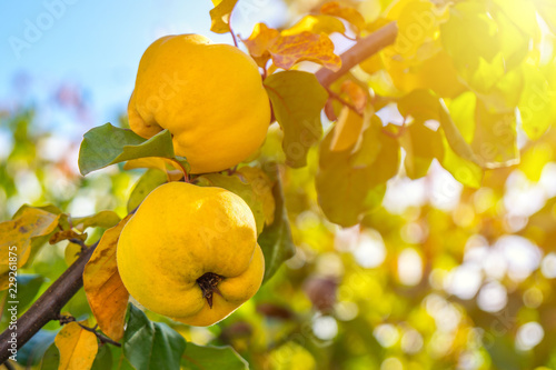Photographie Branch of tree with ripe fruits of quince and leaves
