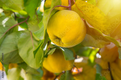 Tableau sur Toile Branch of tree with ripe fruit of quince and leaves