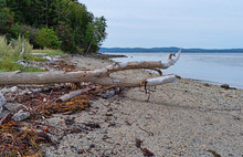 Driftwood Log And Seaweed On T...