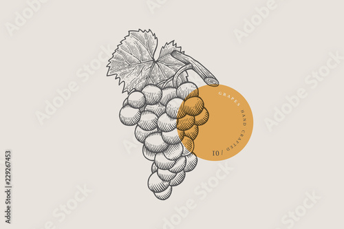 Photo Image of bunch of grapes in an engraving style on light background