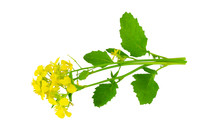 Isolated Mustard Seed Flower P...