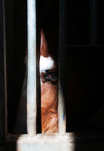 Beautiful Horse Behind Bars In Stable