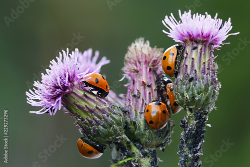 Ladybirds hunting aphids Canvas Print