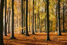 Autumnal Beech Tree Woodland. Norfolk, UK.