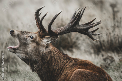 Photo sur Toile Cerf Red Deer (Cervus elaphus) stag bellowing during the rut