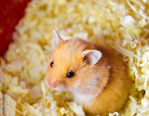 Fotografie, Obraz  Hamster home in keeping in captivity