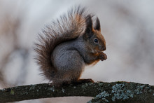 Squirrel Sits On The Branch And Eating A Nut