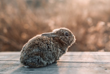 Close Up Of Baby Bunny Sitting On Table During Sunset