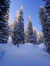 Trail Inside Coniferous Forest Covered With Snow In Winter With