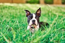 Portrait Of Female Boston Terrier Puppy Lying In Grassy Area
