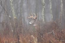 White-tailed Deer In The Fog