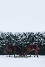 Foals Eating Hay In Snowy Corral