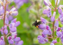 Wild Bumblebee (Bombus) Feeding On A Purple Lupine Flower (Lupinus)