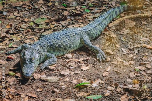 Fototapeta premium Freshwater crocodile, Siamese crocodile, Crocodile Resting at Crocodile Farm.