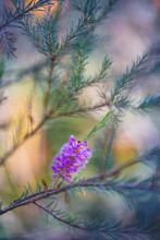 Flowering Evergreen Macro